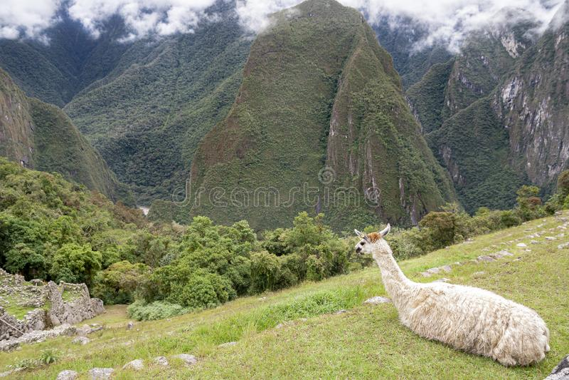 Andean Llama em Machu Picchu imagem de stock