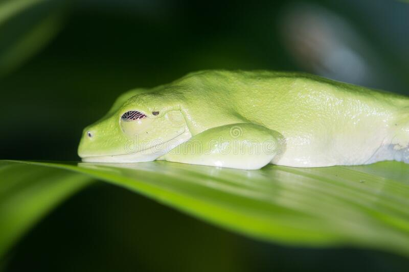 Andean marsupial frog. An adult andean marsupial frog rests on green leaf lying flat royalty free stock photo