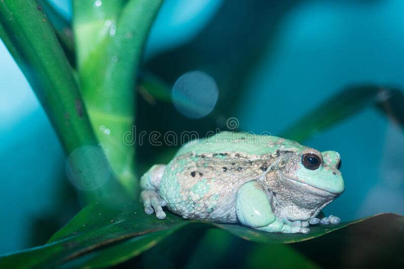 Andean marsupial frog 2. An endangered andean marsupial tree frog rests on a broad leaf stock image
