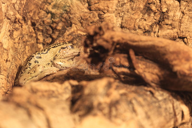 Andean marsupial tree frog. Sitting at the tree stock image