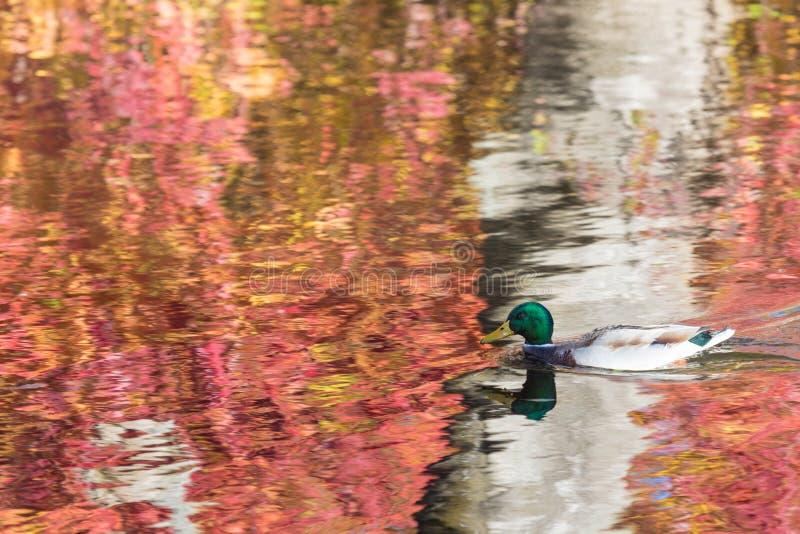 Anden eller ankan i stadssjön eller pundsimningen i vattnet royaltyfria foton
