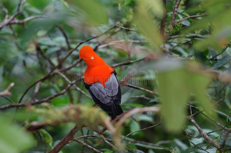 Andenklippenvogel lizenzfreie stockfotografie