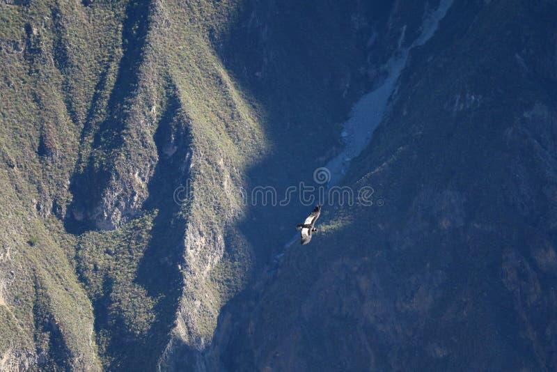 Andenkondor-Fliegen über Colca-Schlucht, die tiefste Schlucht der Welt zweite, Arequipa-Region, Peru lizenzfreies stockbild