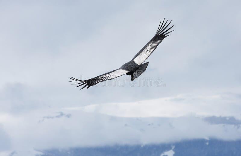 Andenkondor steigt über Bariloche, Argentinien an lizenzfreie stockfotos