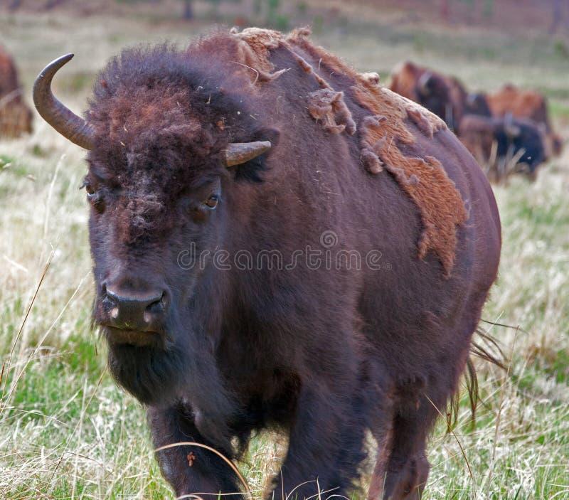 Anderhalf gehoornd Bison Buffalo in Custer State Park in de Zwarte Heuvels van Zuid-Dakota de V.S. royalty-vrije stock fotografie