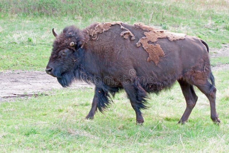 Anderhalf gehoornd Bison Buffalo in Custer State Park in de Zwarte Heuvels van Zuid-Dakota de V.S. royalty-vrije stock foto