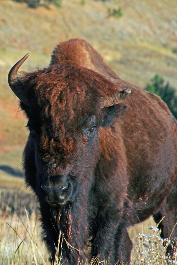 Anderthalb gehörnter Bison Buffalo im Wind-Höhlen-Nationalpark im Black Hills von South Dakota USA lizenzfreies stockbild