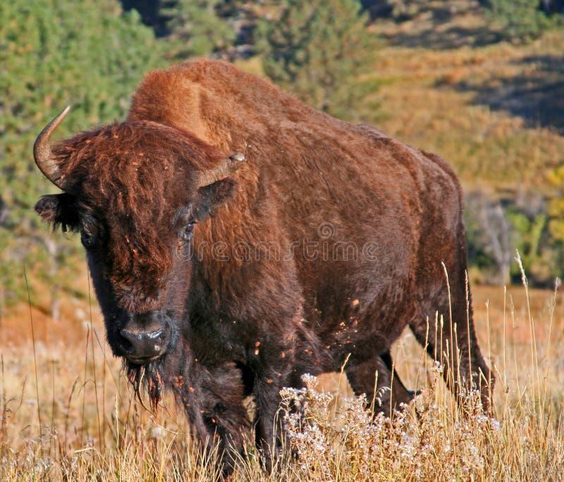 Anderthalb gehörnter Bison Buffalo im Wind-Höhlen-Nationalpark im Black Hills von South Dakota USA stockfotografie