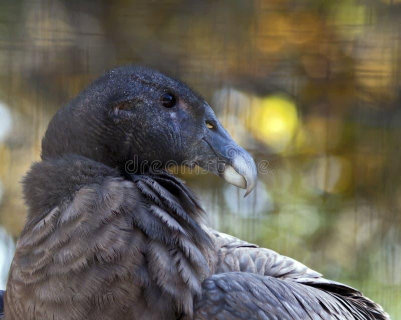 Andes condor royalty-vrije stock afbeelding