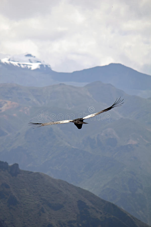 Andes, Condor royalty free stock photography