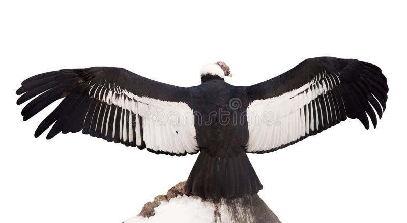 Andes condor. Geïsoleerds over wit royalty-vrije stock fotografie
