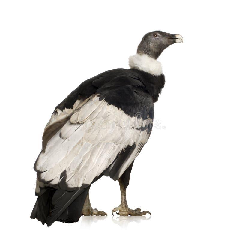 Andes Condor - gryphus Vultur (15 jaar) stock foto