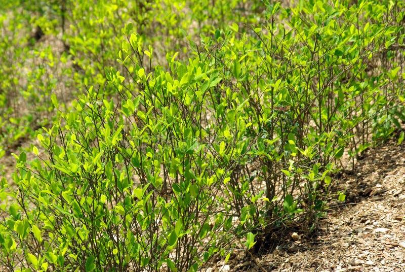 andes koki gór rośliny obrazy stock