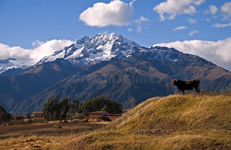 andes krowa fotografia royalty free