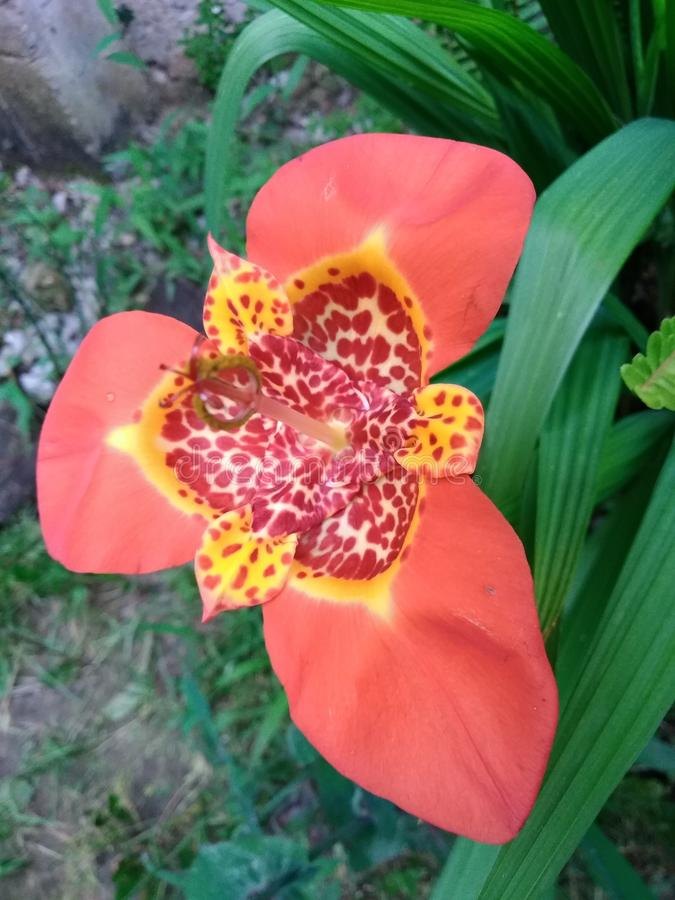 Andes wilde bloem royalty-vrije stock foto