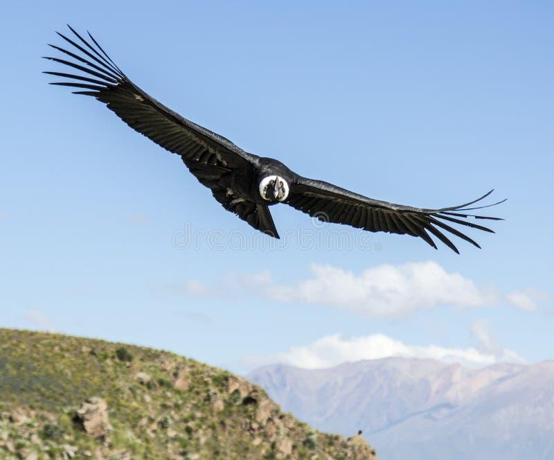 Andescondor in de Peruviaanse bergen royalty-vrije stock foto's