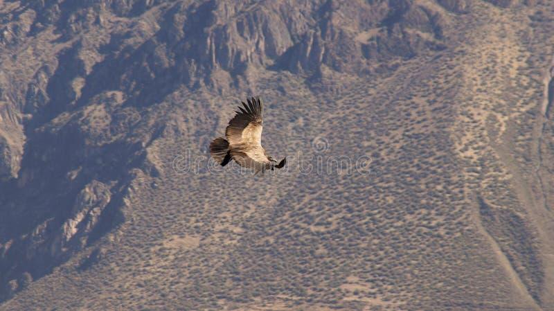 Andescondorvogel in de Colca-Canion, Peru royalty-vrije stock afbeeldingen