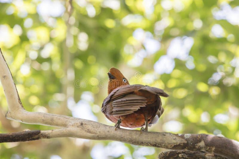 Andesdie haan-van-de-Rots vogel op een tak wordt neergestreken stock afbeelding