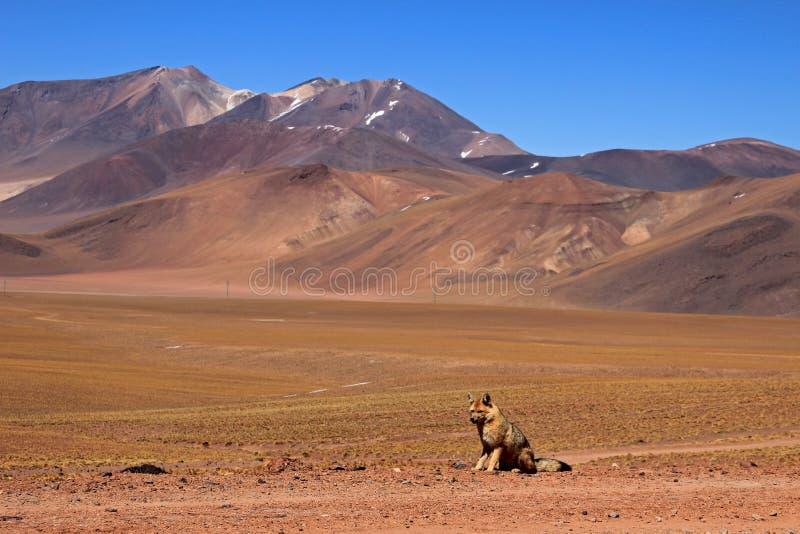 Andesdievos, lycalopex culpaeus, ook als zorroculpeo wordt bekend De Woestijn van Atacama, Chili stock afbeelding
