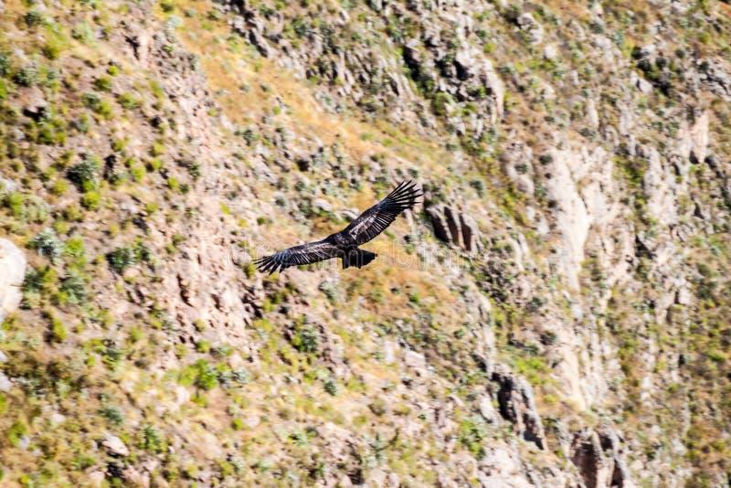 Andesgryphus van Condorvultur in de Colca-Canion stock foto's