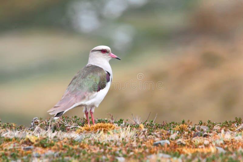 Andeskievit, vogel van Peru stock fotografie