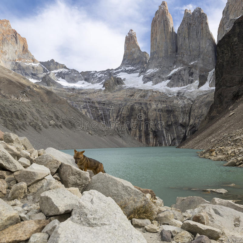 Andesvos in Torres del Paine royalty-vrije stock foto's