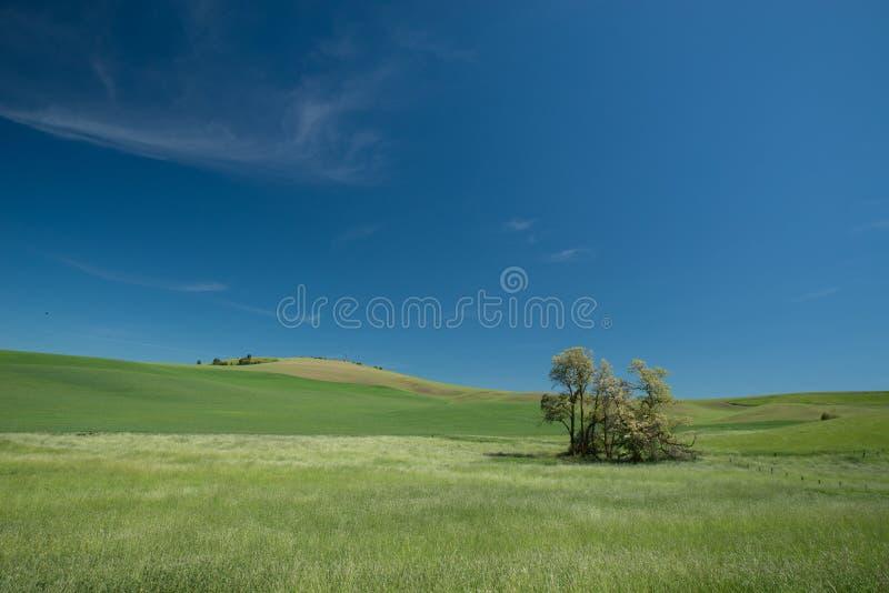 Andf dell'erba verde il giacimento di grano fotografia stock libera da diritti