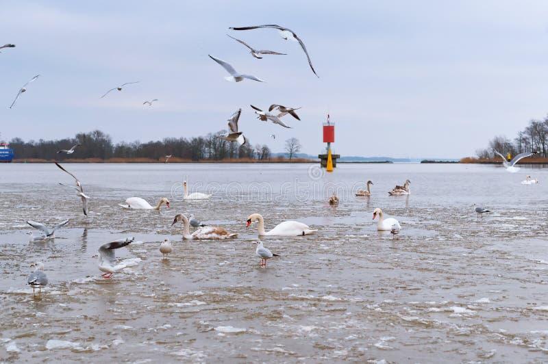 Andfiskmåsar och svanar i damm, vattenfåglar på floden arkivfoton