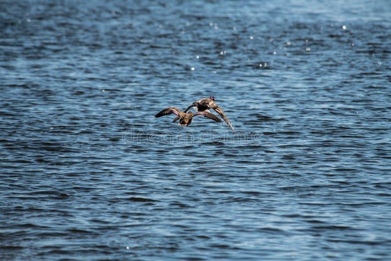 Andfluga under luft för vattensjönatur royaltyfri fotografi