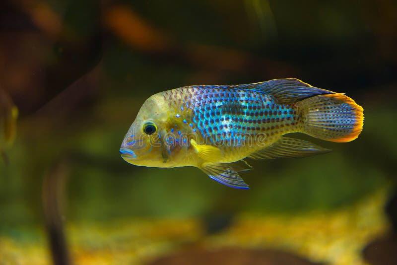 Andinoacara rivulatus - färgrik tropisk fisk i akvariumslut upp arkivbild