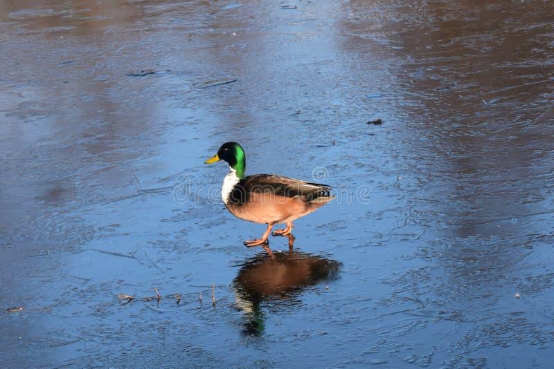 andisgräsand som går wild vinter arkivfoto