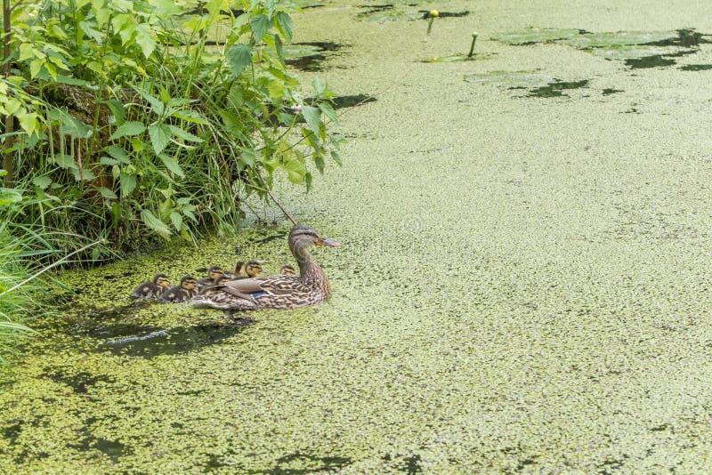 Andmodersimning med hennes nyfödda ankungar i ett grönt damm Natur- och familjbegrepp royaltyfria bilder