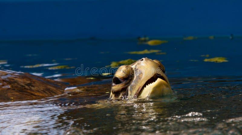 andninghavssköldpadda royaltyfri foto