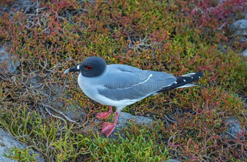 A andorinha atou a gaivota nos Galápagos, Equador foto de stock