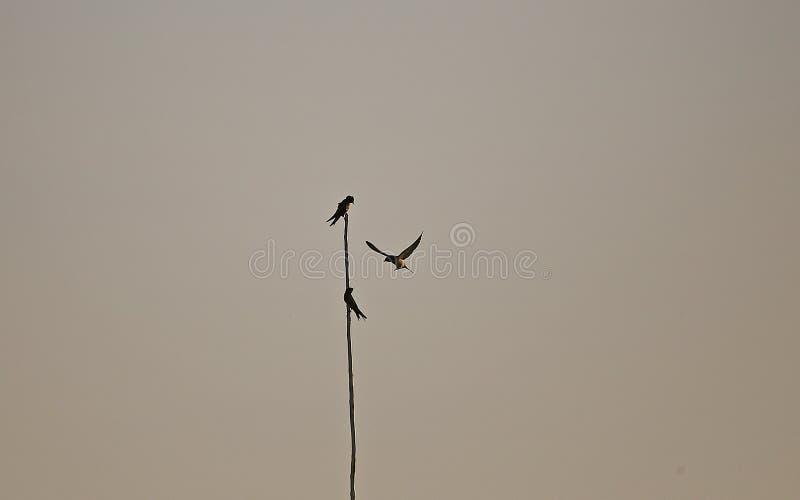 Andorinha de celeiro na silhueta crepuscular foto de stock
