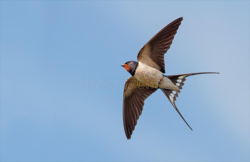 A andorinha de celeiro voa no céu azul com asas esticadas fotos de stock