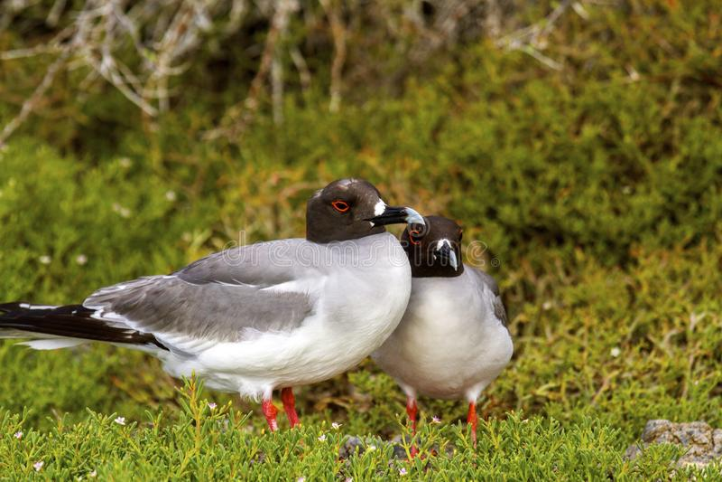 A andorinha de Galápagos atada Gulls o assentamento fotos de stock