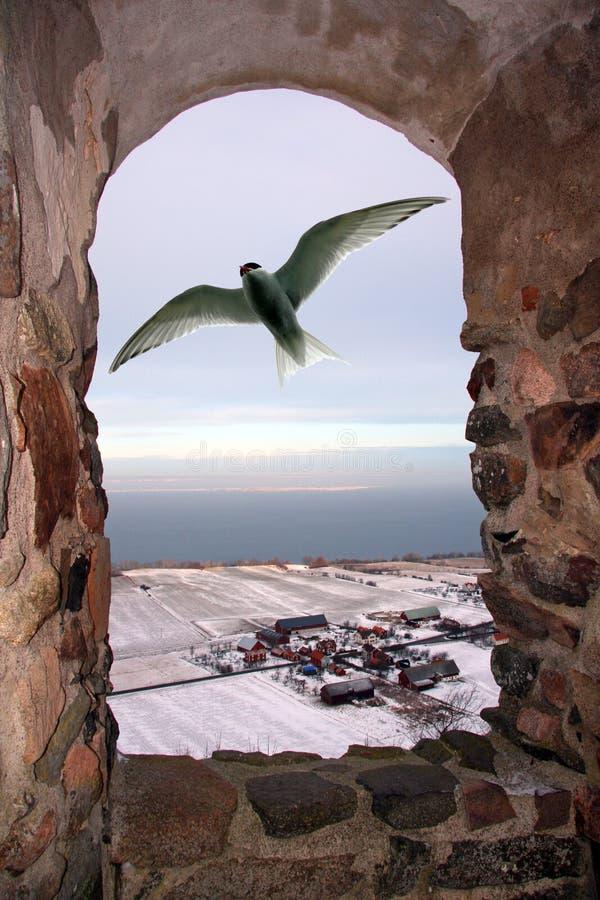 Andorinha-do-mar ártica fora do indicador fotos de stock