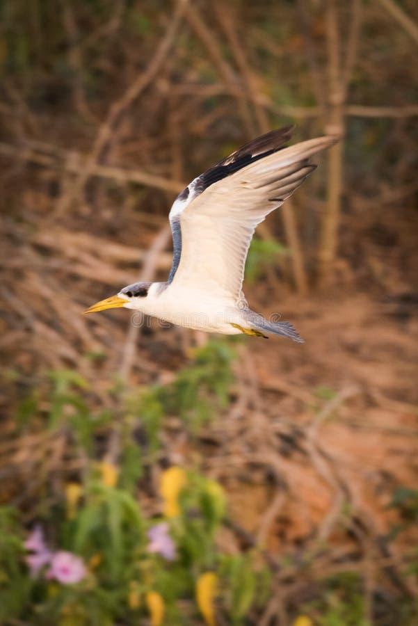 andorinha-do-mar Amarelo-faturada com as asas aumentadas sobre arbustos fotografia de stock royalty free