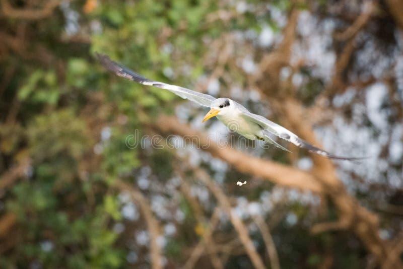 andorinha-do-mar Amarelo-faturada com excremento do pássaro no meio do ar imagens de stock royalty free