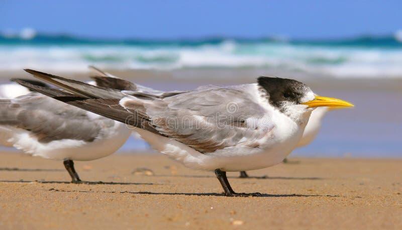 Andorinha-do-mar com crista nova fotos de stock royalty free