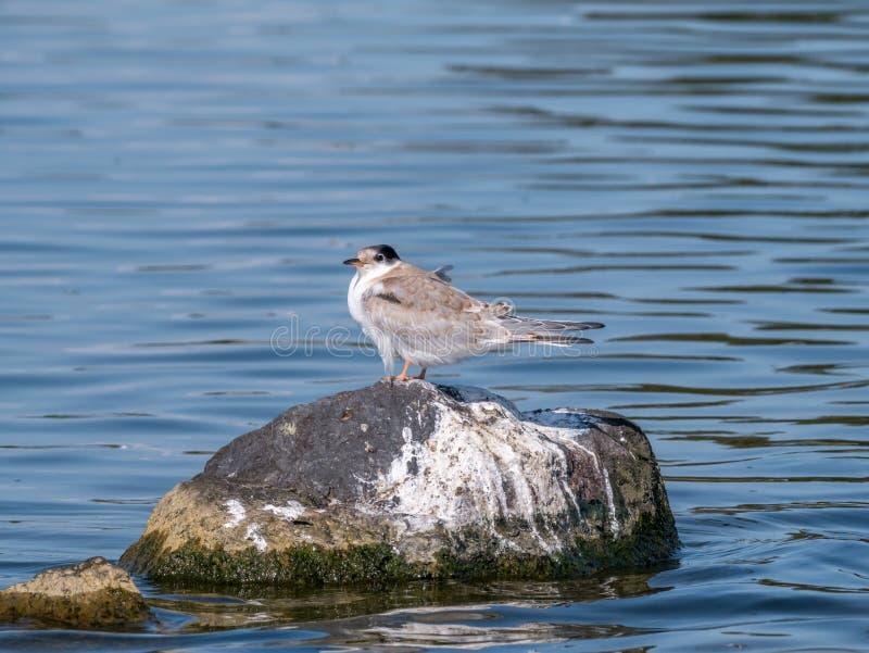 Andorinha-do-mar comum, hirundo dos esternos, posição juvenil na rocha na água, imagem de stock royalty free