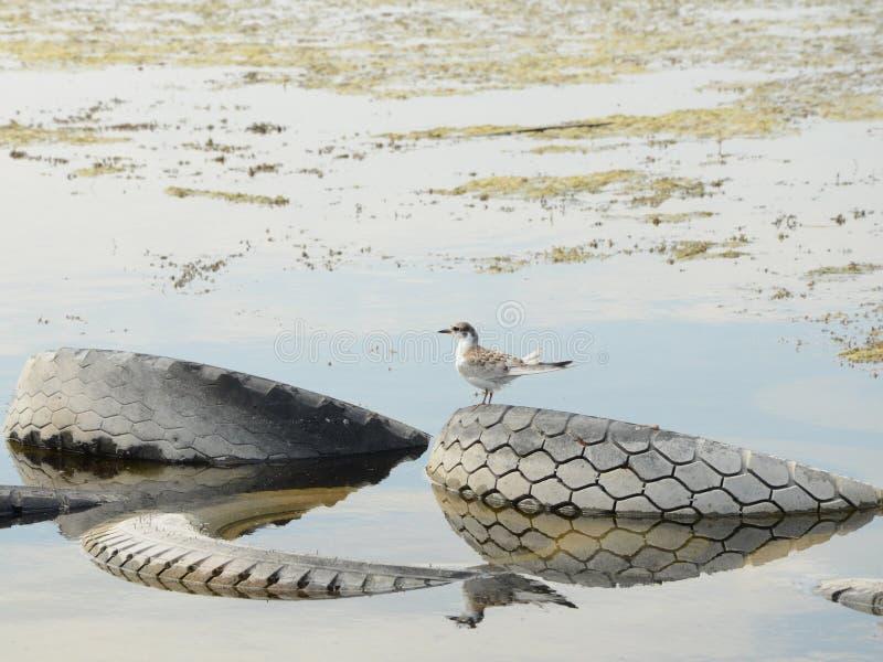 Andorinha-do-mar comum perto do rio fotografia de stock royalty free