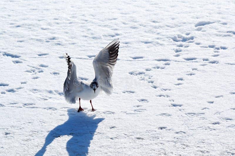 Andorinha-do-mar livre do pássaro nas asas de ondulação da neve branca fotografia de stock royalty free