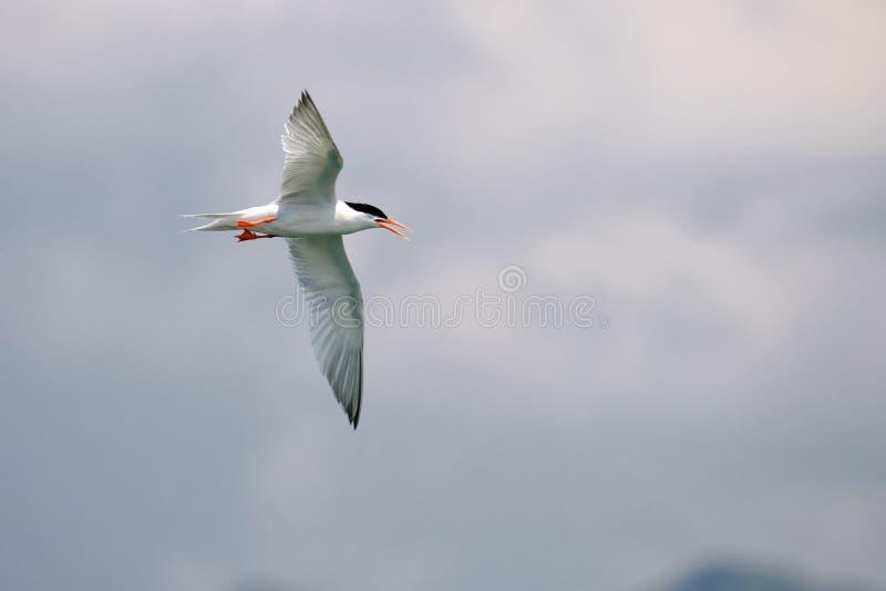 Andorinha-do-mar rósea do pássaro em voo - imagens de stock royalty free