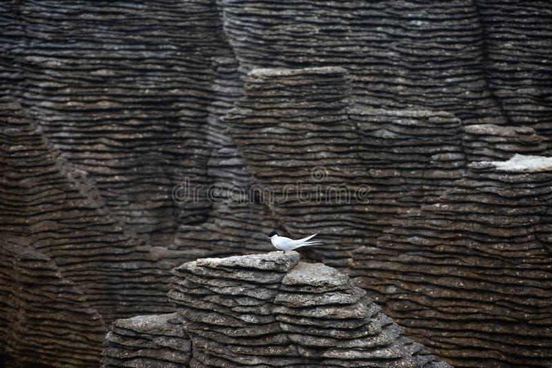 Andorinha-do-mar só contra o contraste escuro das formações de rocha da panqueca, Punakaiki imagem de stock royalty free