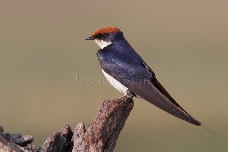 Download Andorinha Fio-atada Que Senta-se No Registro Imagem de Stock - Imagem de pássaro, tailed: 26524337