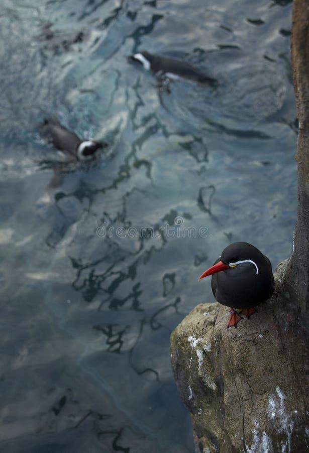 Andorinhas-do-mar do Inca acima dos pinguins nadadores imagens de stock