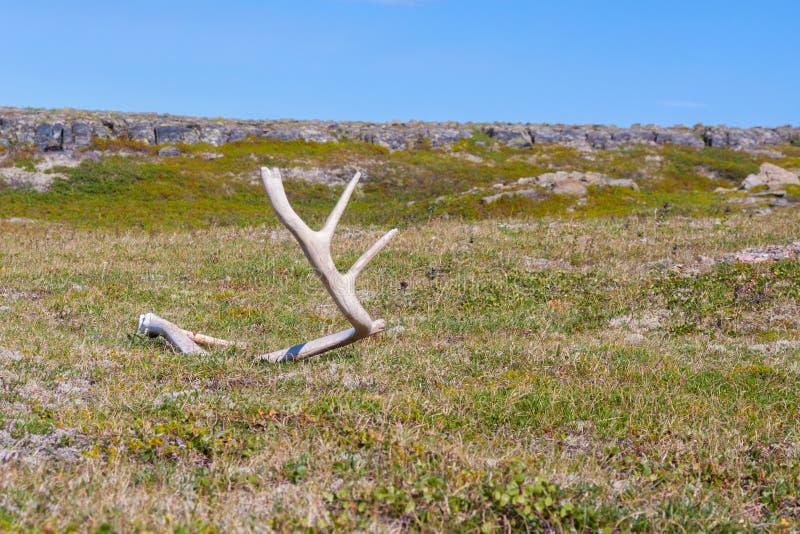 Andouiller de cerfs communs trouvé sur la toundra russe photographie stock libre de droits