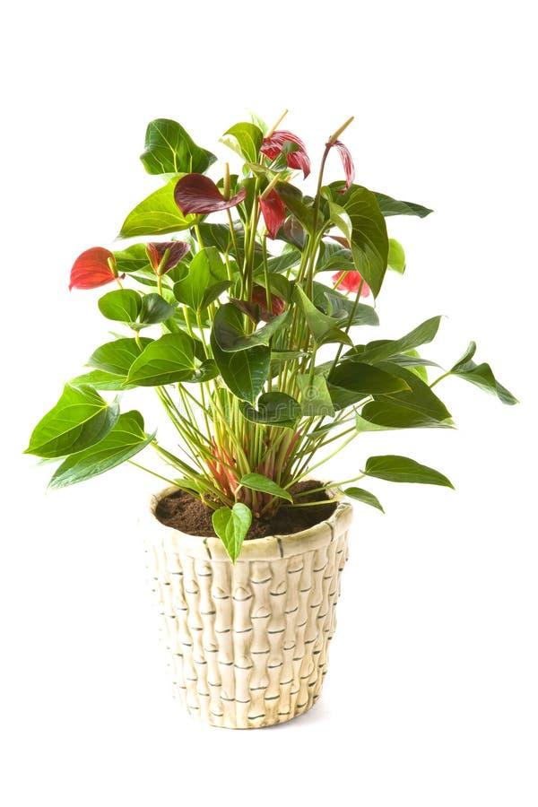 andreanum anthurium queen red στοκ εικόνες